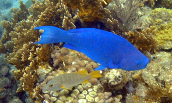 West Bay Beach : blue parrotfish