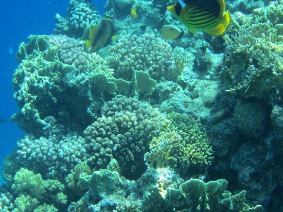 The Royal Savoy Sharm El Sheikh: coral reef