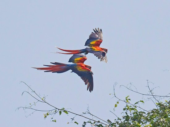 Copa de Arbol Beach and Rainforest Resort: Scarlet Macaws