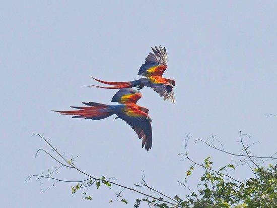 كوبا دي آربول آند رين فورست ريزورت: Scarlet Macaws