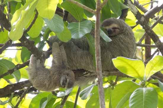 Copa de Arbol Beach and Rainforest Resort : Three-toed Sloth and baby