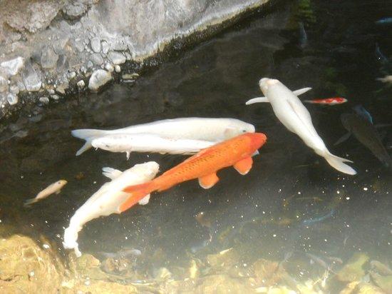 Sheraton Princess Kaiulani : Koi pond