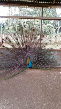 MiniZoo y Jardín Yori: Pavo real