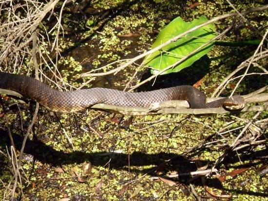Arthur R. Marshall Loxahatchee National Wildlife Refuge: adult water moccasin