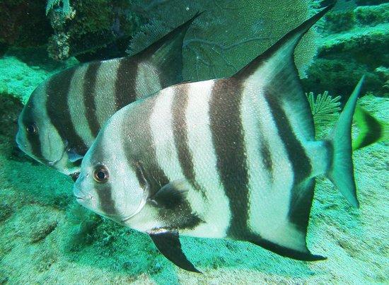 Ocean Divers: Atlantice Spadefish