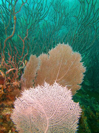 Ocean Divers : Fan Coral on the Benwood Wreck