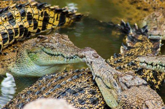 Crocodylus Park : Kiss me