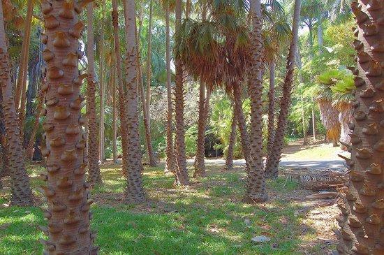Darwin Botanic Gardens : palm walk