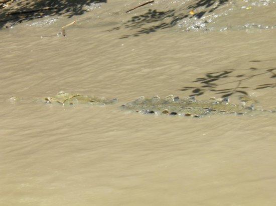 Costa Rica Unique Transfers & Tours: Crocodile in the Tempisque River at Palo Verde