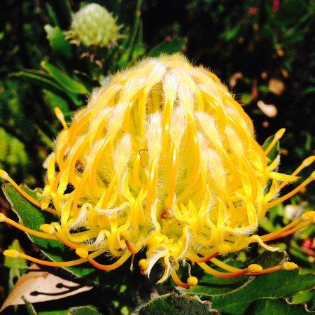 Kula Botanical Garden : gold