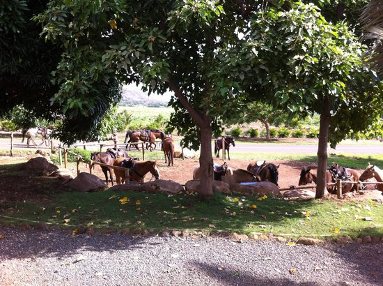 Lahaina Stables: Awaiting eager riders
