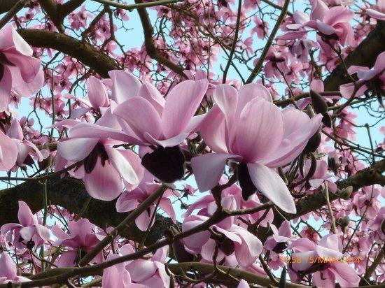 Ascot Carriages: Magnolia