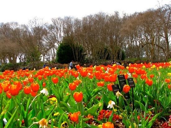 Dallas Arboretum & Botanischer Garten: Tulip bed, Dallas Arboretum, March 2014