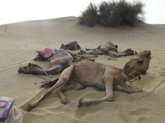 Sagar Guest House: A lot of respect for Camels
