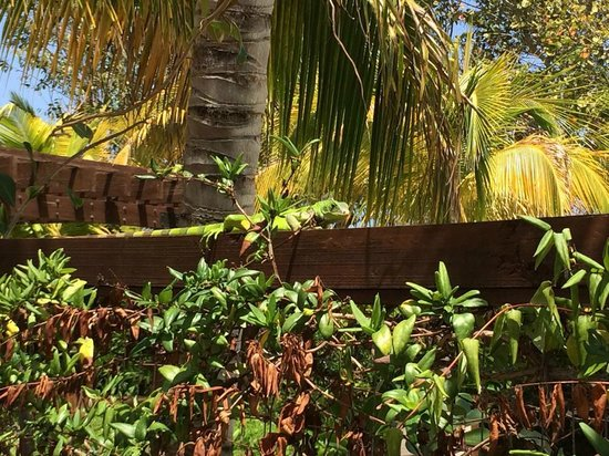 Royal Isabela: This iguana was just hanging out at the pool. Awesome!