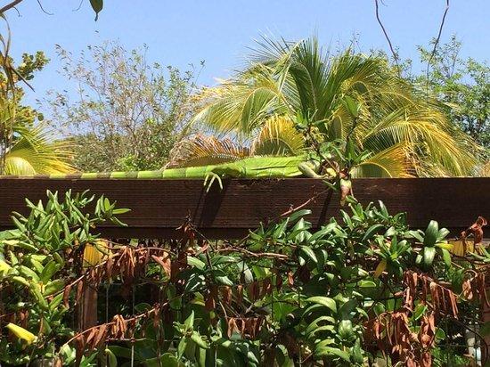 Royal Isabela : Mr. Iguana