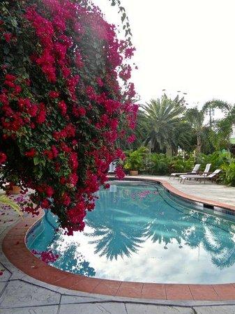 Buccaneer Beach Club : Bougainvillea by the pool