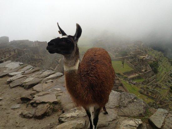 Machu Picchu Viajes Peru: Llamas