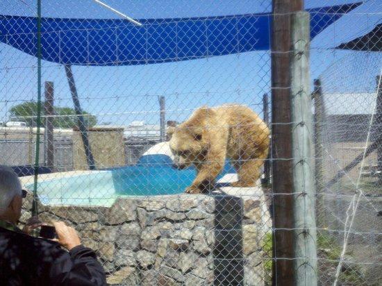 Big Cat Habitat and Gulf Coast Sanctuary : a bear greets a visitor