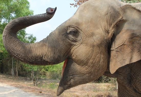 Phnom Tamao Wildlife Rescue Center : 'Lucky'