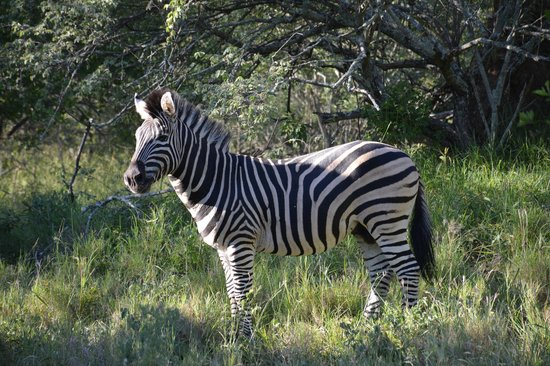 Jackalberry Lodge: Zebra