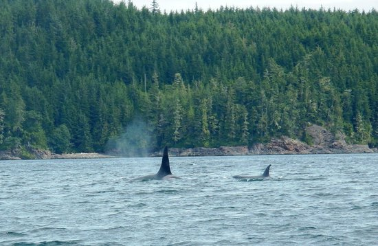 Discovery Expeditions Day Tours : Woo hoo!  Killer Whales!!