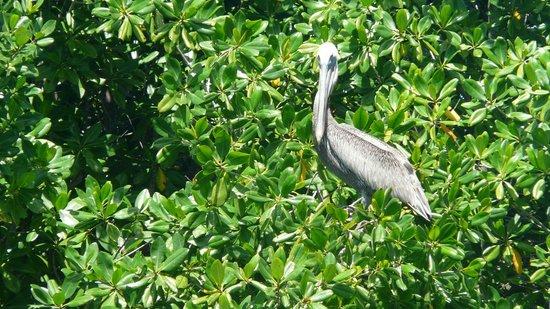 Rio Chavon : Pelikan am Fluss