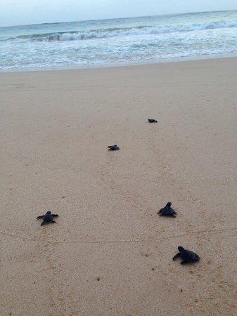 Sea Turtle Farm and Hatchery: Turtles going to sea
