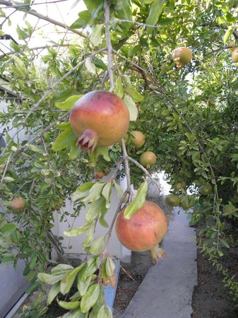 Eftichia Apartments : Pomegranates growing in grounds