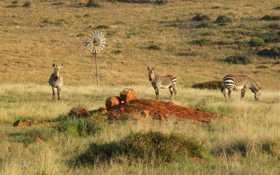Samara Private Game Reserve: Cape Mountain Zebra