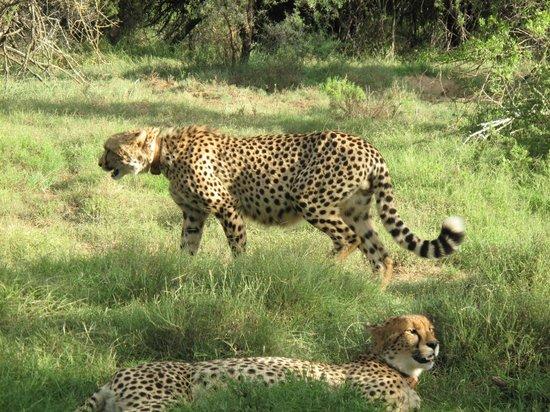 Samara Private Game Reserve: Cheetah