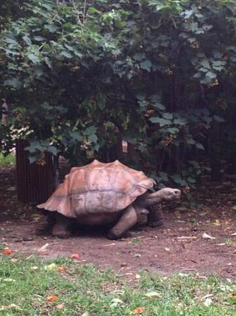 Perth Zoo : active tortoise