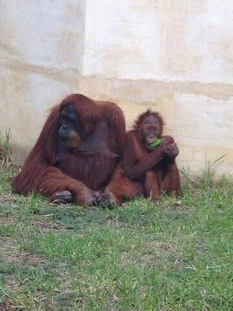 Perth Zoo: best orangutans exhibit