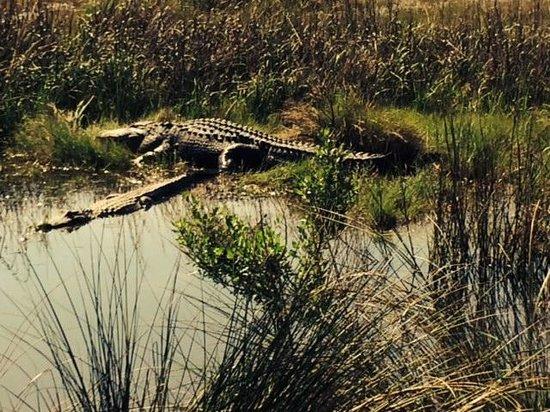 The Lodge on Little St. Simons Island: alligators seen on a nature walk