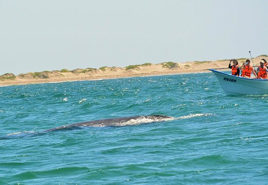 Red Travel Mexico: encounter with gray whale