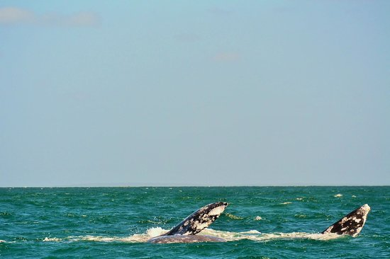 Red Travel Mexico: gray whale