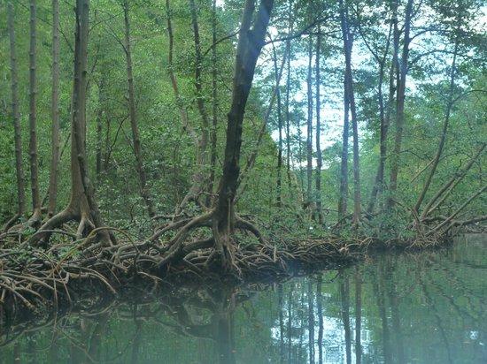 Excursions Stéphanie - Casa de Las Terrenas : La mangrove et ses palétuviers