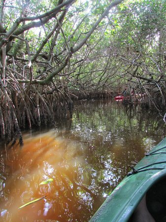 Everglades Rentals & Eco Adventures: kayaking thru mangrove tunnels off the East River near Everglades City