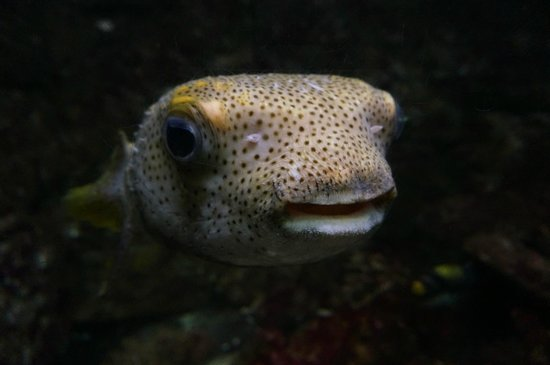 Atlantic City Aquarium Historic Gardner's Basin : puffer fish