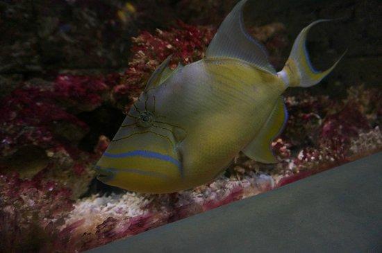 Atlantic City Aquarium Historic Gardner's Basin : triggerfish