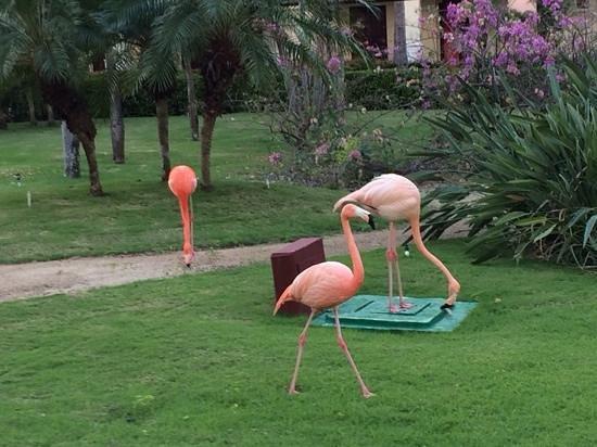 Iberostar Punta Cana: Pink Flamingoes walk around the gardens