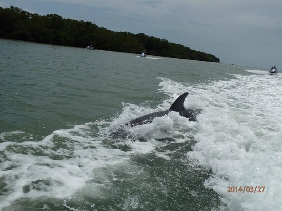 Capt. Ron's Awesome Everglades Adventures: Dolphin sighting on the tour.