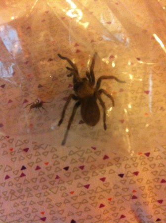 La Confianza Hotel - Lunahuana: One captured spider and a tarantula