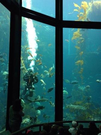 Monterey Bay Aquarium: Kelp feeding