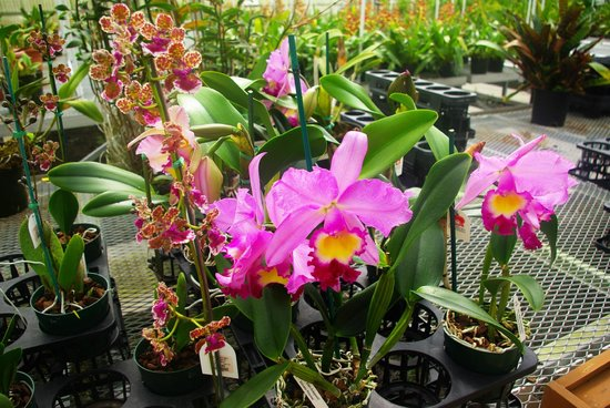 Akatsuka Orchid Gardens: Orchids