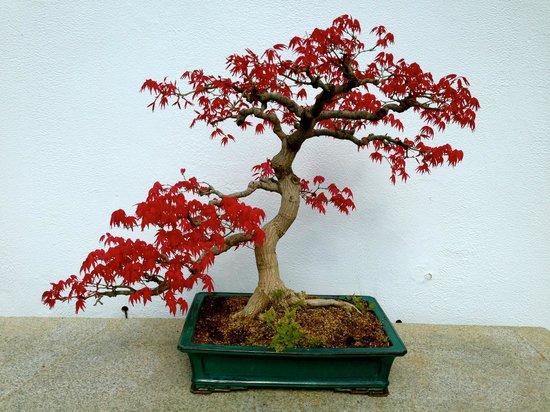 Montreal Botanical Gardens: bonsai