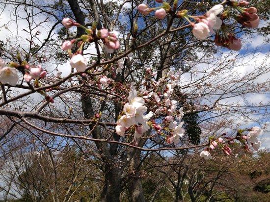 Hamamatsu Flower Park: 桜
