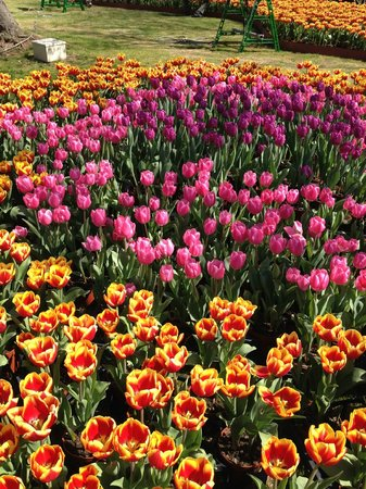 Hamamatsu Flower Park: チューリップ