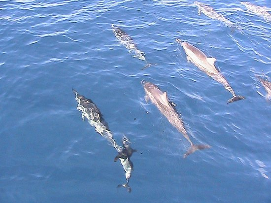Pacific Whale Foundation : Spinner dolphins