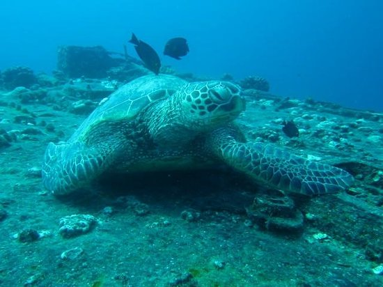 Honolulu Scuba Company: Turtle on Sea Tiger cargo ship - 90 foot depth